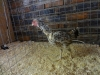 12 Hard Feather Bantam (Small)