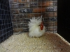 16 True Bantam (Small)