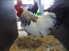 Sussex Bantam