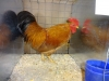 New Hampshire Bantam